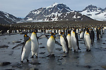 King Penguin colony with mountainous backdrop at St. Andrews Bay on South Georgia.