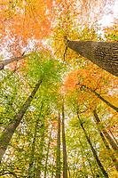 France, Allier, Tronçais forest, Saint-Bonnet-Troncais, the forest Colbert, biological reserve in autumn,