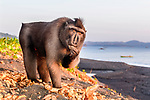 Adult male Sulawesi or Celebes crested macaque or Sulawesi or Celebes black macaque (Macaca nigra)(known locally as yaki or wolai) foraging on exposed beach at low tide. Tangkoko National Park, Sulawesi, Indonesia.