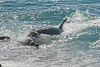 Orca (Orcinus orca) aanval op konge zeeleeuwen