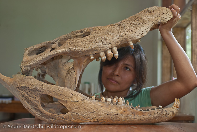 Peruvian biologist investigating black caiman skull at Rio Amigos Investigation Center CICRA, Rio Amigos Conservation Concession, Madre de Dios, Peru