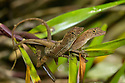 Golfo Dulce Anole / Many-scaled Anole {Norops / Anolis polylepis} mating pair with male on top. Endemic to the Golfo Dulce region of Costa Rica. Corcovado National Park, Osa Peninsula, Costa Rica, May.