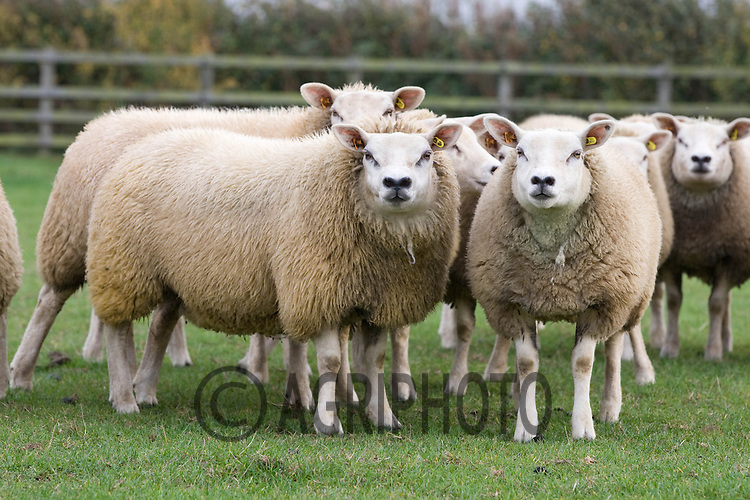 Pedigree Texel ewes out at grass