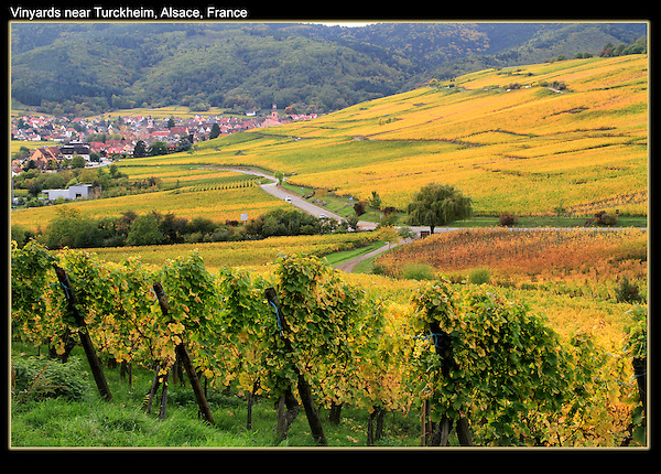 France, Alsace.  <br /> October and hardly a tourist (or anyone) in sight. Autumn vineyards surrounding Turckheim, Alsace, France.