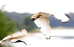 Australian Whte Ibis, Threskiornis molucca