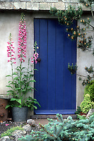 Digitalis in galvanized bucket pot container planter in front of pretty blue door house shed, Picea pungens 'Glauca', Pinus, Picea abies dwarf conifer in pot, variety of evergreen conifer shrubs trees . Board and batten door