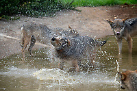 """BNPS.co.uk (01202) 558833<br /> Pic: ZacharyCulpin/BNPS<br /> <br /> Wolf Cool <br /> <br /> Wild swimming - a pack of European wolves enjoy a cooling dip at Longleat as temperatures<br /> start to rise ahead of a predicted heatwave over the weekend.<br /> The wolves, which were once native across the UK, were introduced to their Wiltshire<br /> woodland home in 2019.<br /> Since arriving at Longleat the pack has grown significantly with the arrival of two sets of<br /> cubs.<br /> """"The wolves actually love the water, especially during the summer, and will spend quite a lot<br /> of time splashing about in their pond and using it as somewhere to cool down,"""" said keeper<br /> Ian Turner."""