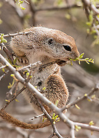 Round-tailed Ground Squirrel, Xerospermophilus tereticaudus, feeds on leaves at the Desert Botanical Garden, Phoenix, Arizona