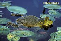 FR05-005z  Bullfrog among lily pads - Lithobates catesbeiana, formerly Rana catesbeiana