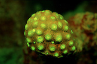 Fluorescent hard coral, Indonesia, Indian Ocean, Komodo National Park