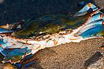 Blue crab medium shot.