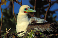 Red-footed Booby-male, dark phase, at Christmas Island
