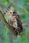 Barred Owl in Forest