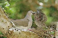 White-tipped Dove, Leptotila verreauxi,adult feeding young in nest on cactus, Cameron County, Rio Grande Valley, Texas, USA
