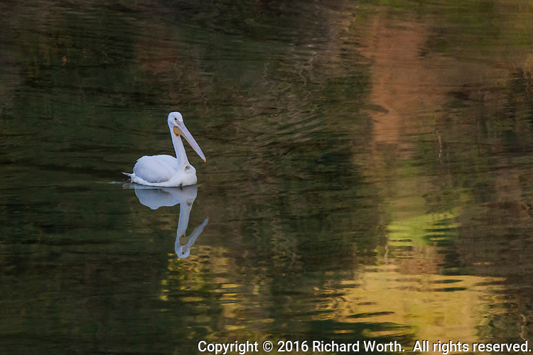 An American White pelican floats on rippled water reflecting orange and yellow  - a winter afternoon at Lake Chabot Regional Park.