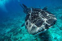Spotted whale shark (rhincodon typus) swimming in Ari Atoll, Maldives.