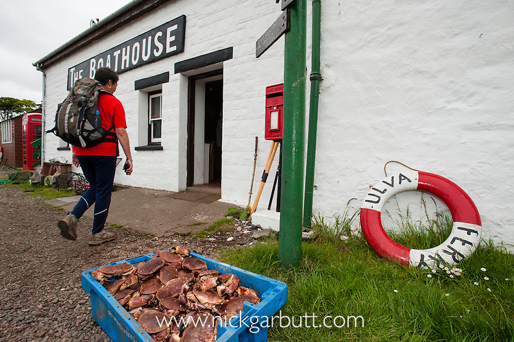 Fresh Edible Crabs (Cancer pagurus) being delivered to the Boathouse cafe, Isle of Ulva, off the Isle of Mull, Inner Hebrides, Scotland, UK. June 2010.