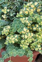 Sedum sieboldii Mediovariegatum, variegated stonecrop groundcover plant aka Hylotelephium sieboldii Mediovariegatum