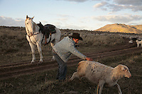 A shepherd rights a sheep that had fallen as loyal trained mustang watches and waits. Dot, the horse, was trained in a prison program in Wyoming.<br />