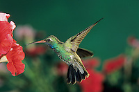 Broad-billed Hummingbird, Cynanthus latirostris, male in flight feeding on Petunia, Madera Canyon, Arizona, USA, May 2005
