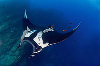 giant oceanic manta ray, Mobula birostris, formerly Manta birostris, with remora, Echeneida sp., being cleaned by Clarion angelfish, Holacanthus clarionensis, at the Boiler near San Benedicto Island in the Revillagigedo Islands, Pacific Ocean