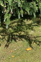 Goldgelber Lärchenröhrling, Gold-Röhrling, Goldgelber Lärchen-Röhrling, Goldröhrling, Lärchenröhrling, Gelber Röhrling, Suillus grevillei, Suillus flavus, Greville's Bolete, Larch Bolete. Mykorrhiza-Pilz, Symbiosepilz mit der Lärche, Symbiose