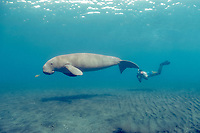 dugong or sea cow, Dugong dugon, with snorkeler and juvenile golden pilot jack, Gnathanodon speciosus, ( Indo-Pacific Ocean )