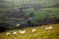 Sheep on the hillside over Llangammarch Wells, Powys, Wales, UK
