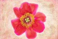 Close up of peony flower.