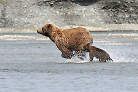 A baby bear's mother takes off running after she spots a salmon in a tidal lagoon in Alaska's McNeil River State Game Sanctuary.