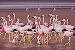 Andean flamingos, Eduardo Averroa Andean Fauna Reserve, Bolivia<br />