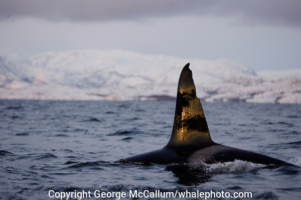 Adult male killer whale surfacing and spouting, heavily scarred dorsal fin. Tysfjord, Arctic Norway