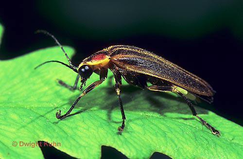 1C24-011z  Firefly - Lightning Bug - Photuris spp.
