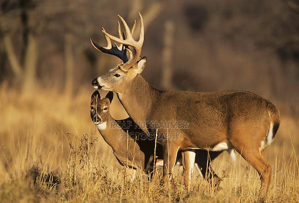 White-tailed Deer (Odocoileus virginianus), buck and doe, Minnesota, USA