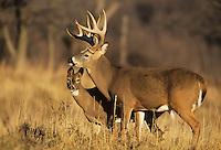 White-tailed Deer (Odocoileus virginianus), buck and doe, Minnesota, USA