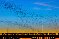 Every night from about March through November, spectators watch as, just before sunset, nearly one and a half million Mexican free-tailed bats – one of the world's largest colonies of this species – take flight from beneath the South Congress Bridge to feast on insects along Lady Bird Lake.
