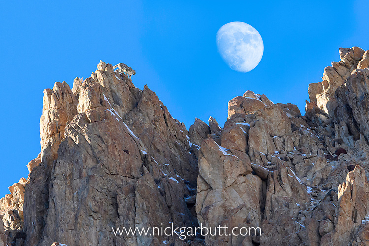 Female snow leopard (Panthera uncia)(formerly Uncia uncia) moving along ridge line with moon in background. Ladakh Ranges, Himalayas, Ladakh, India. (composite image).