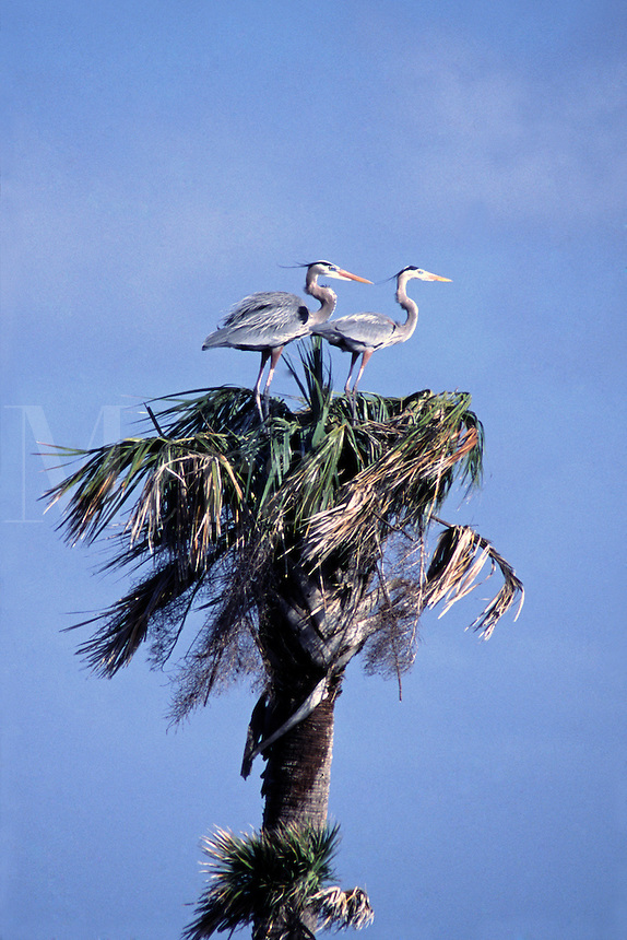 A pair of Great Blue Herons, Ardea herodias, nesting in a Palm tree at the Stick Marsh in Florida.