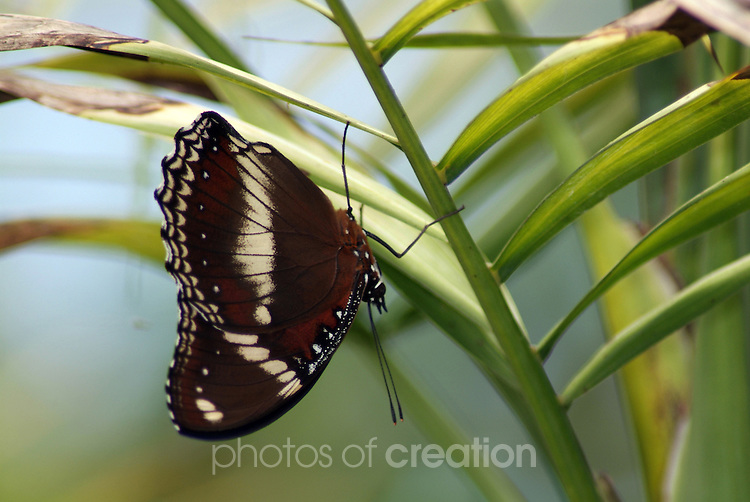 Capaneus Butterfly - Papilio fascus