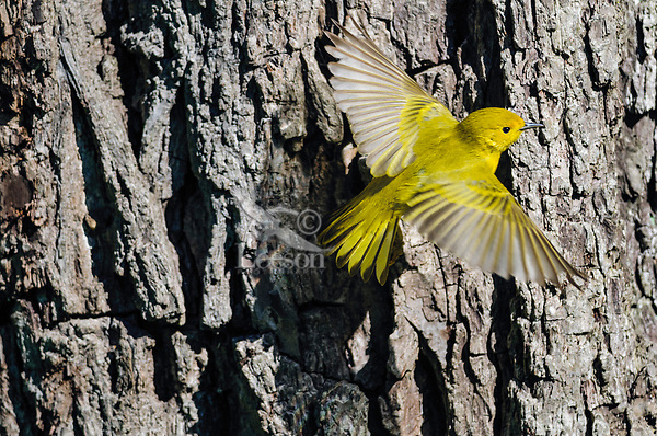 Yellow Warbler (Dendroica petechia) in flight. Great Lakes region. May.