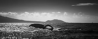 A humpback whale starts to dive, showing off its tail off the south shore of Maui; Wailea and Kihei can be seen in the background.