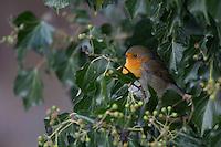 Rotkehlchen, an Efeu, Erithacus rubecula, robin