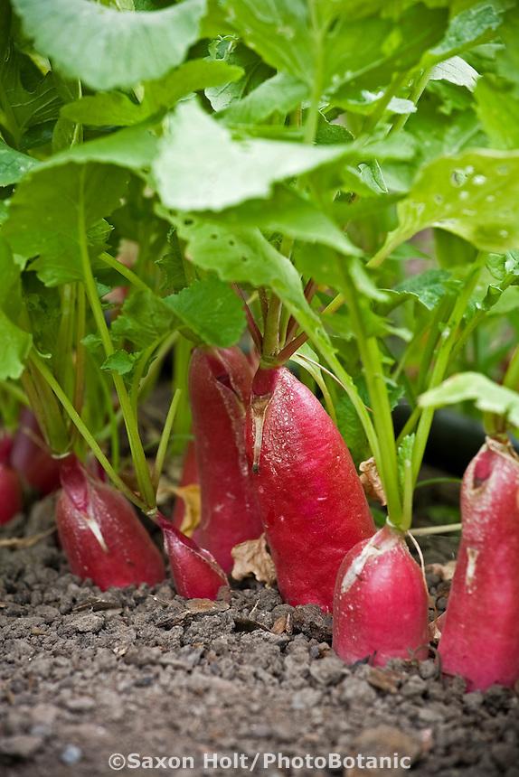 Radish 'D'Avignon' vegetable in garden