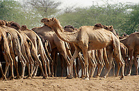 Indien, Bikaner (Rajasthan), Kamel-Farm