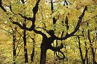 Autumn Trees, Minnesota