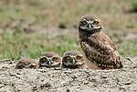 Burrowing Owls keep an eye on photographer by Todd Mintz