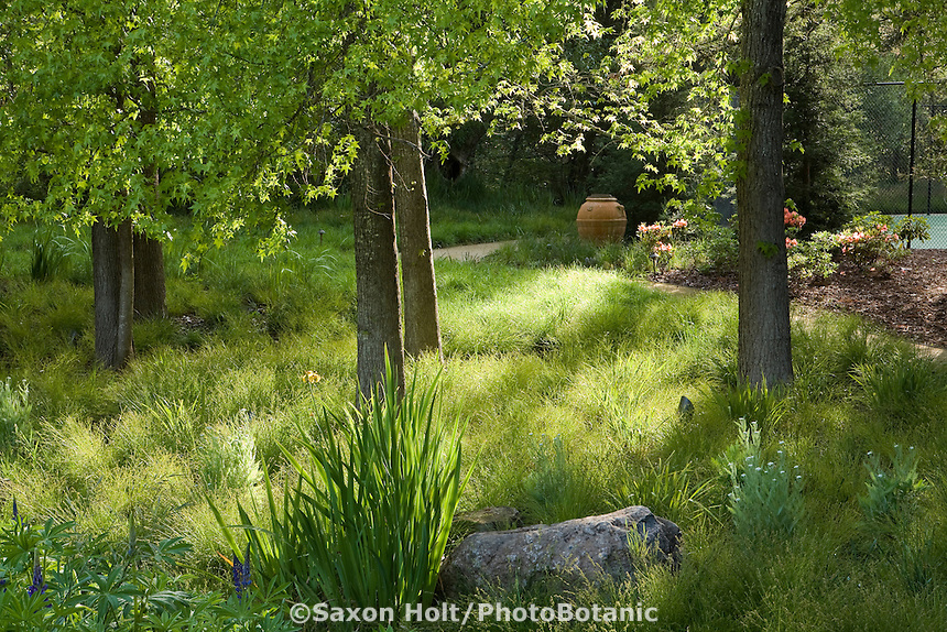 Grass lawn substitute sedge meadow (Carex divulsa, C.remota) in afternoon light under trees in California garden