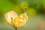 Bumble Bees on approach to an American Lotus flower