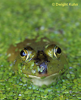 FR01-012a  Bullfrog - adult in duckweed pond - Lithobates catesbeiana, formerly Rana catesbeiana