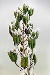Germany, Bavaria: first night frost decorates cobweb at columbine seed capsules with white frost | Deutschland, Bayern: die ersten Nachtfroeste zeugen vom bevorstehenden Winter - Spinnennetz an Akelei-Samenkapseln mit Raureif